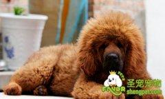 藏獒幼犬出生到8至10个月的护理方法和过程