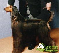 纯种犬的成长发育和配种知识