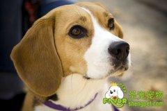 纯种犬繁殖的遗传与常用方法