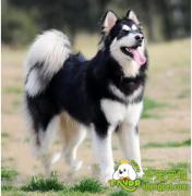 阿拉斯加犬与哈士奇犬的区别
