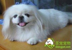 北京犬美容之家庭美容修剪技巧
