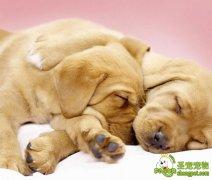 宠物狗的社会化训练之家庭生活的适应