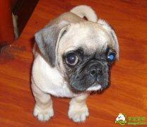 巴哥犬眼部的护理