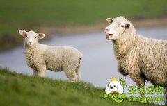 绵羊宠物得到英国一家喜爱