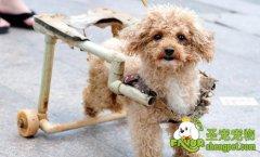 这条瘫痪小狗很励志[图]