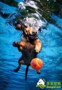 狗狗水中夺球大战