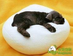 狗狗绦虫病和线虫病的诊断和治疗方法