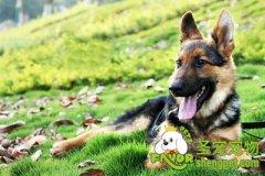 护理德国牧羊犬牙齿的方法