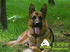 怎么清洗护理德国牧羊犬的耳朵