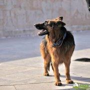 德国牧羊犬的防卫训练的级别