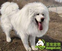 藏獒冬季的饲养管理