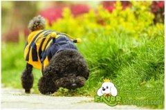 怎么打扮贵宾犬更漂亮