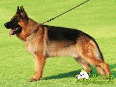 工作犬的基础科目训练