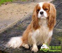 查理王小猎犬日常护理