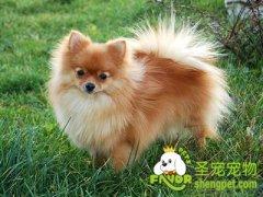 宠物狗吃什么美毛
