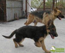 猎犬训练之幼犬的初级训练