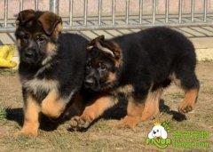 猎犬训练之幼犬的狩猎训练