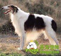 培养犬的猎取欲和衔取兴奋性