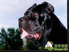 犬的护食本能与凶猛性培养