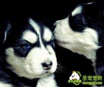 犬的活动式警戒训练