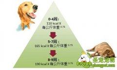 母犬在怀孕期需要哪些营养需求