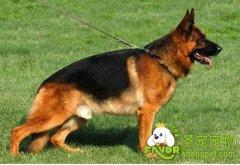 犬的追踪训练第一阶段