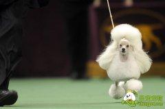 犬姿训练 狗狗参赛必修课