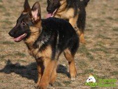 德国牧羊犬如何训练