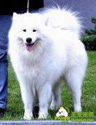 饲养萨摩耶犬应当注意的事项