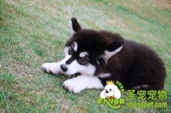 阿拉斯加雪橇犬美容步骤