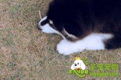 阿拉斯加雪橇犬美毛的方法