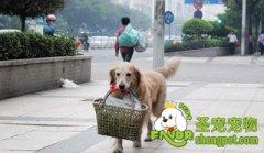 训练宠物犬帮主人提篮子