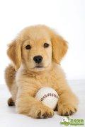 系绳小球在训练新犬时的用法