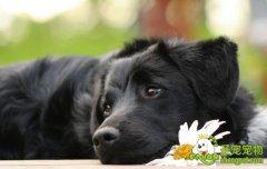 狗狗假孕的原因及现象