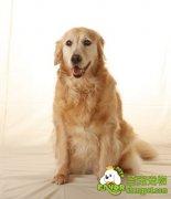 金毛犬比较容易患的疾病和诊断