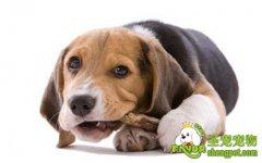 喂养狗狗的误区-骨头并不全是狗狗的最爱
