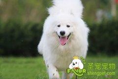 萨摩耶犬的介绍