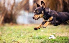 犬对食物元素专业用量比例