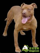 几种攻击性很强的危险犬种