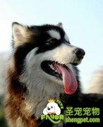 购买阿拉斯加雪橇犬前应该知道什么