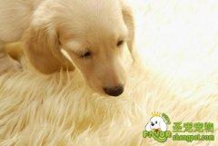 狗狗眼睛部位的清洁方法