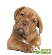 狗狗被剃光毛后有可能会得抑郁症