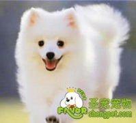 日本尖嘴犬的起源与发展