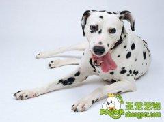 培养斑点狗的能力三阶段