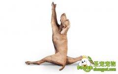 如何训练狗狗作揖