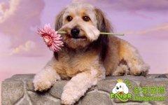宠物狗狗牙护理的两大方法