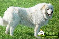 饲养大白熊犬的注意事项