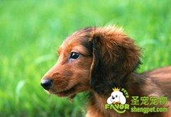 腊肠犬容易患上哪些疾病