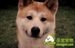 秋田犬和柴犬之间的区别
