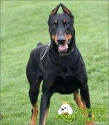 杜宾犬常见疾病的诊断和治疗